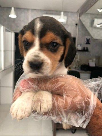 Os mais lindos filhotes de Beagle disponíveis em loja física, consulte-nos *Lucas - Foto 3