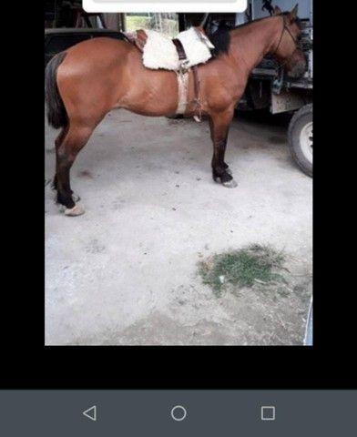 Égua crioula pura - Foto 2