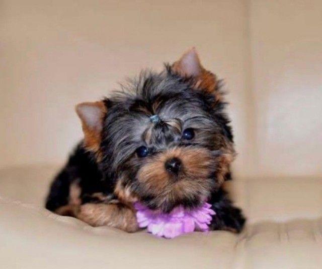 Yorkshire Terrier, Garantias em Contrato e Pedigree!! - Foto 2