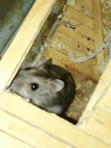 Hamster anão russo - Foto 4