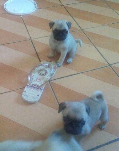 Lindos Filhotes Pug - Foto 2