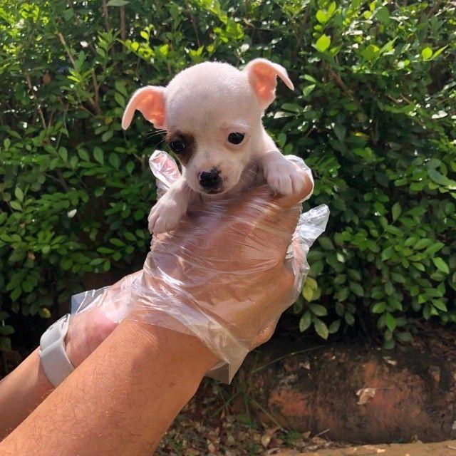 Chihuahua - Filhotes Maravilhosos - Foto 4