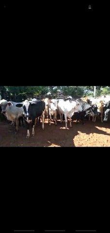 47 Novilhas e Vacas novas aneloradas.