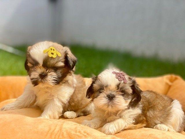 Pequeninos bebês Shih Tzu Machos em Família Recanto Ribeiros  - Foto 3
