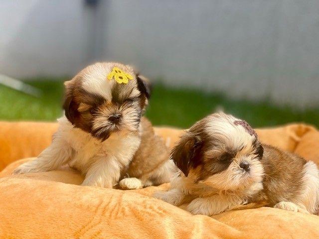 Pequeninos bebês Shih Tzu Machos em Família Recanto Ribeiros  - Foto 2