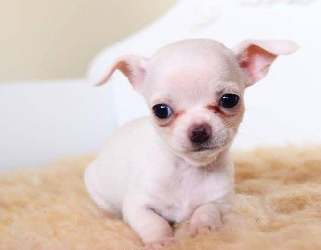 Chihuahua - Filhotes Maravilhosos