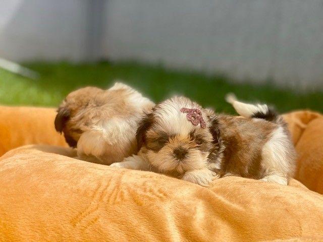 Pequeninos bebês Shih Tzu Machos em Família Recanto Ribeiros  - Foto 4