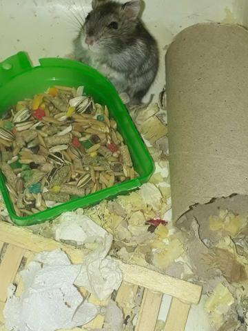 Hamster anão russo - Foto 6