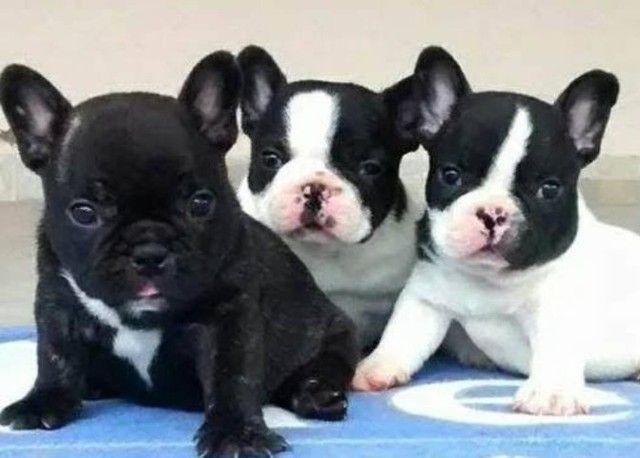 Amores de Bulldog frances, com garantia em contrato!