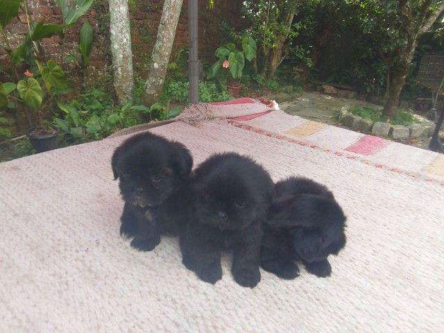 Filhotes de Shih-tzu - Foto 2