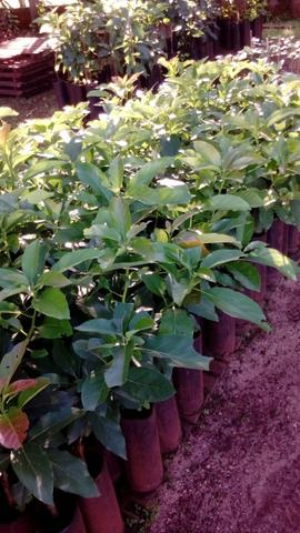 Abacate todas variedades - Foto 3