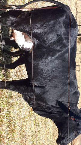 Vacas Girolando - Foto 5