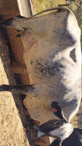 Vacas Girolando - Foto 3