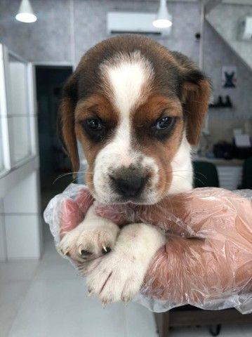 Os mais lindos filhotes de Beagle disponíveis em loja física, consulte-nos *Lucas