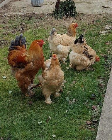 Ovos férteis galinha brahma(Aves das fotos)