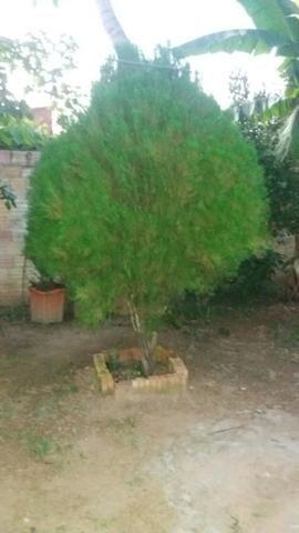 Vende se um pinheiro perfeito para enfeitar para o natal - Foto 3