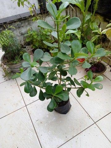 Mudas de Plantas, Flores e adubo - Foto 4