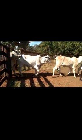 47 Novilhas e Vacas novas aneloradas.  - Foto 2