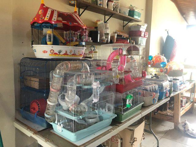 Lindos filhotes de  Anao Russo (Hamster) criação responsável ! - Foto 4