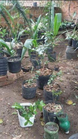 Muda Frutiferas apartir de R$ 10,00 - Foto 6