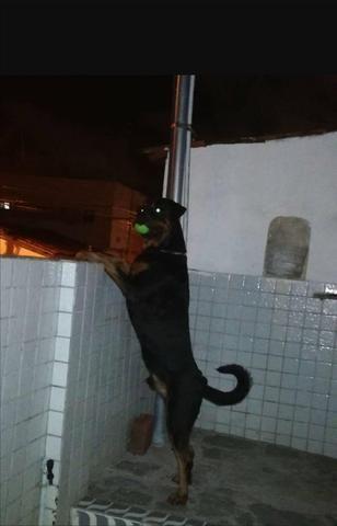 Rottweiler macho puro cabeça de Touro pra cruzar - Foto 3