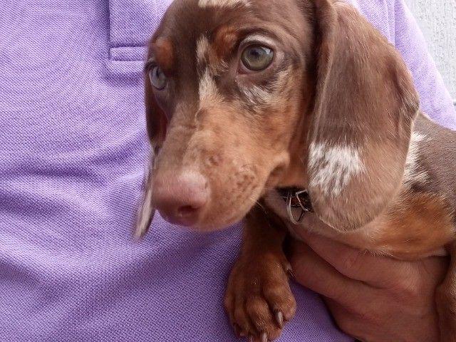 Filhote de Dachshund,de olhos verdes!!! - Foto 5