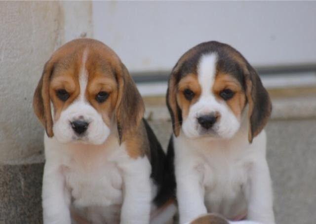 beagle lindos filhotes entregamos - Foto 2