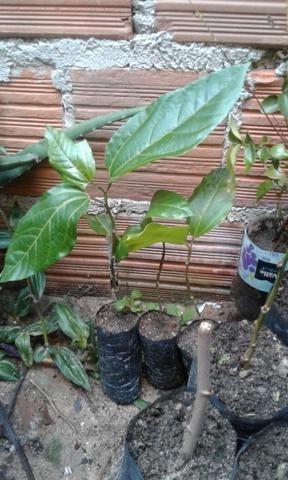Vendo mudas frutíferas - Foto 3