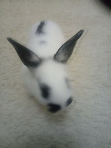 Vendo filhote coelho - Foto 3