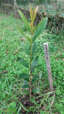 Mudas de Guanandi no RS/ Águas Claras-Viamão - Foto 6