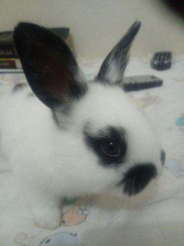 Vendo filhote coelho - Foto 2