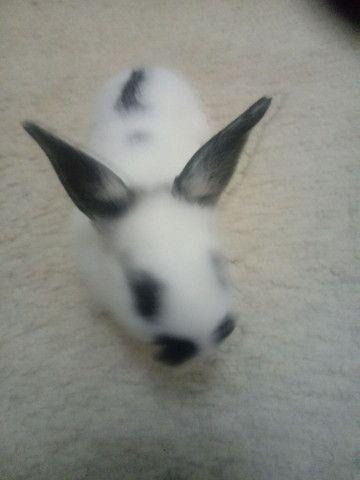 Vendo filhote coelhos - Foto 2