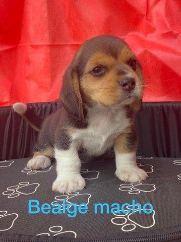 beagle- filhotes muito lindos com garantia!!! - Foto 2