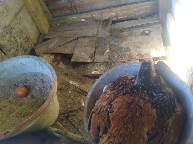 Vendo Criação de Galinhas e Patinhos - Foto 2