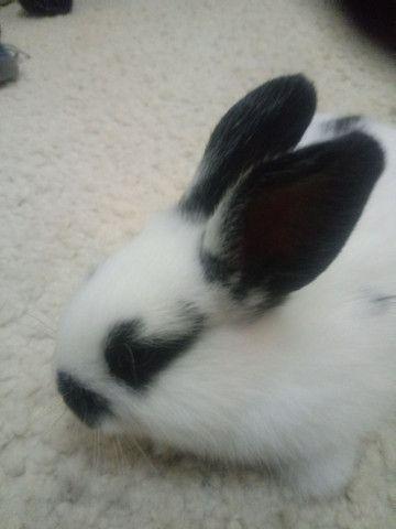 Vendo filhote coelhos - Foto 3
