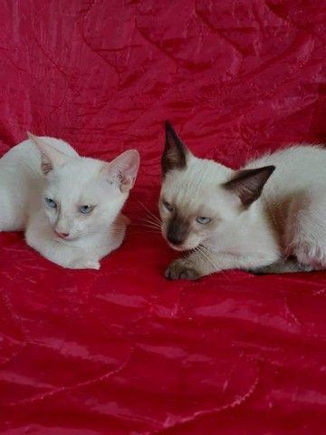 Gatos castrada para adoção - Foto 2