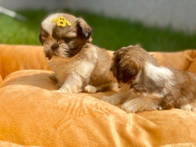 Os mais lindos filhotes mini Shih Tzu com Pedigree  - Foto 3
