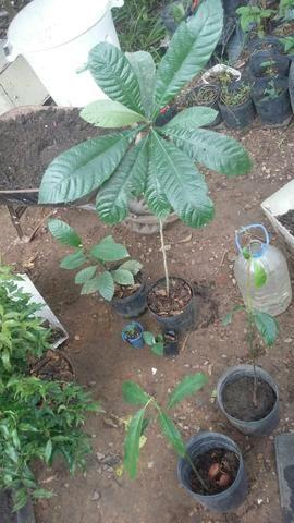 Muda Frutiferas apartir de R$ 10,00 - Foto 4