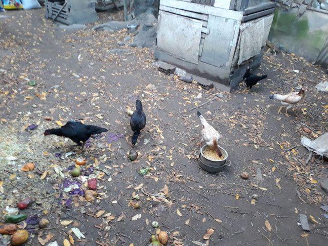 Só galinha boa ..60 reais cada zap * - Foto 4