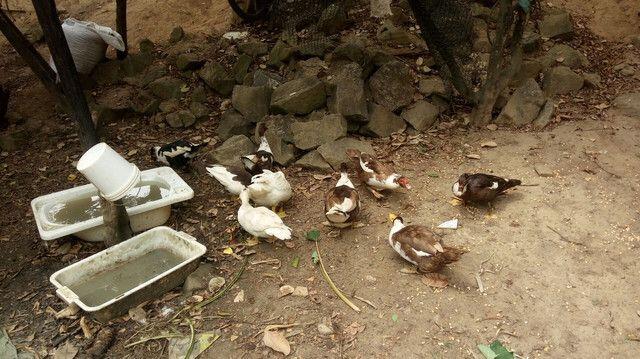 Estou vendendo 10 patos, 8 fêmeas e 2 machos todos bem criados - Foto 2