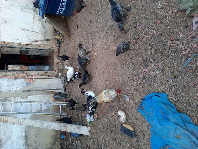 Patos - Foto 3