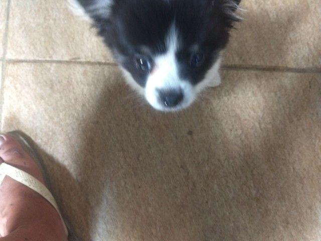 Chihuahua macho - Foto 4