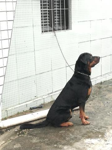 Rottweiler macho puro cabeça de Touro pra cruzar - Foto 2