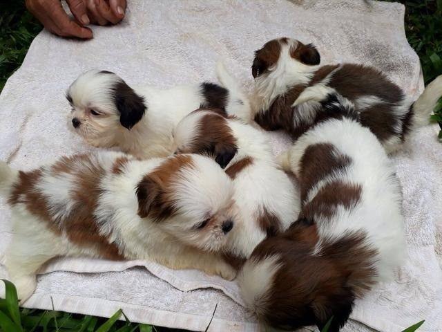 shih tzu mine pedigree - Foto 3