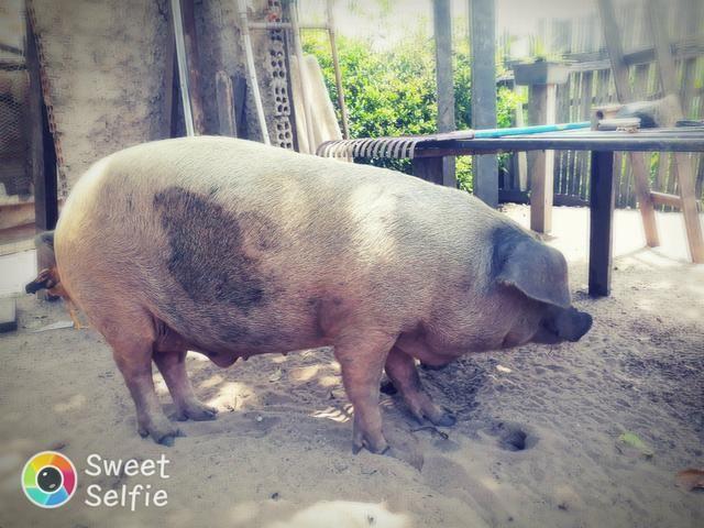 Vendo esse porco vivo