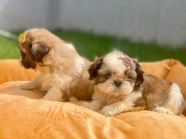 Os mais lindos filhotes mini Shih Tzu com Pedigree  - Foto 4