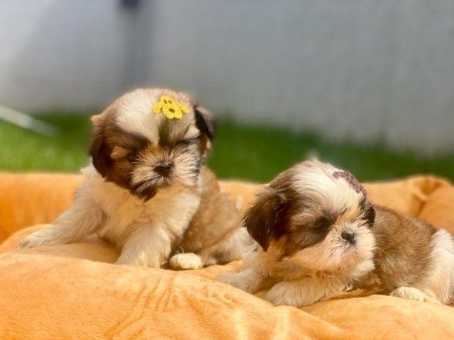 Os mais lindos filhotes mini Shih Tzu com Pedigree
