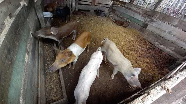 Porcos mandraça e outras raças 400 cada