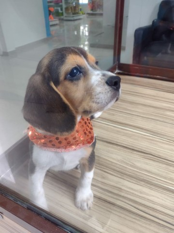 Beagle Fêmea vacinada