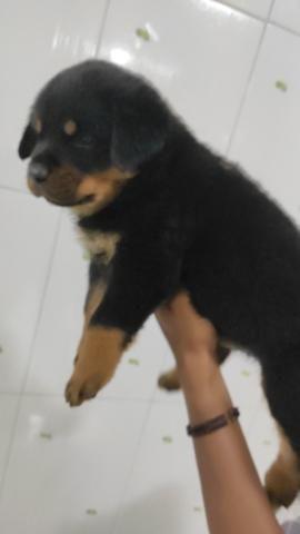 Rottweiler filhotes com 34 dias - Foto 6